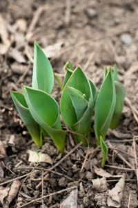 Necessary Roughness: Sprouting Tulips